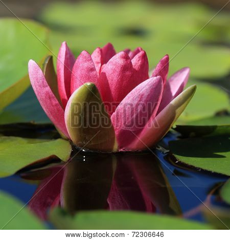 Pink Lotus Flower In Pond, Tropical Flower In Garden