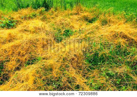 Dodder Illinois Prairie