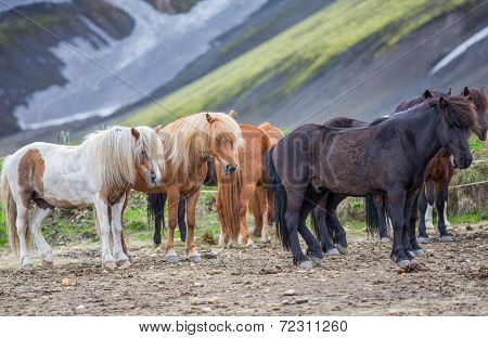 Side view of Icelandic horses group in Landmannalugar