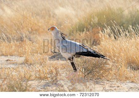 Secretary Bird, Kgalagadi Transfrontier Park, South Africa