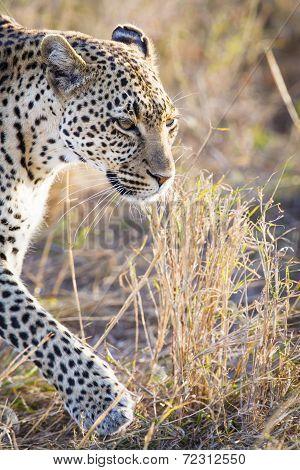 Close up of leopard in Serengeti