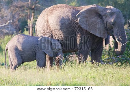 Elephant Cow And Small Calf Feeding On Long Grass