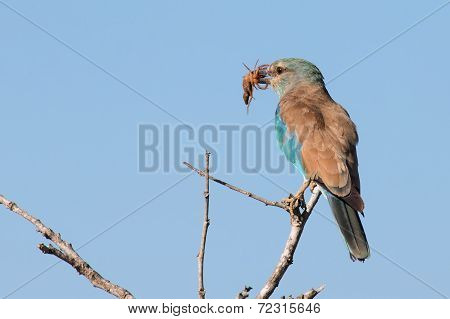 European Roller In Blue Detail Eating A Scorpion On A Branch