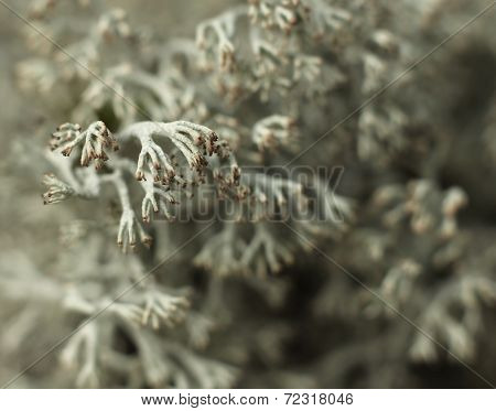 Reindeer Lichen Moss Close-up