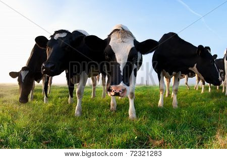 Cattle On Green Pasture Close Up