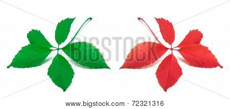 Green And Red Virginia Creeper Leaves