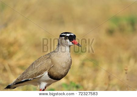 Crowned Plover - African Wild Bird Background - Prince of Nature