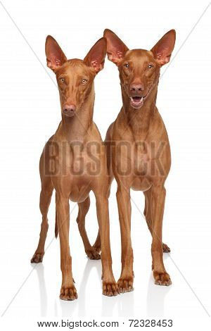 Pharaoh Hounds