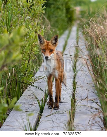 Red fox looking into camera