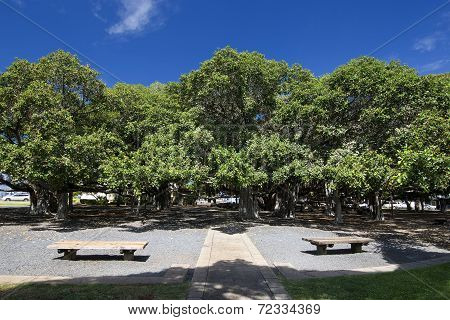 Banyan tree in courtyard square. Lahaina Harbor on Front street, Maui, Hawaii