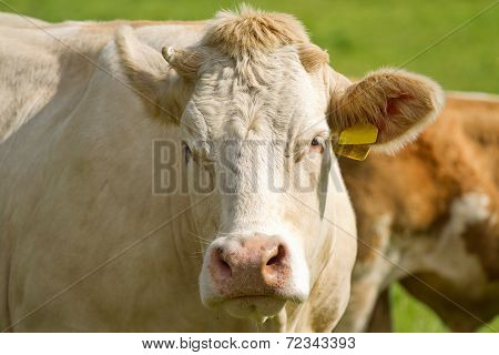 White Dairy Cows In Pasture