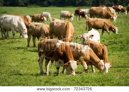 Cows And Bulls In Pasture