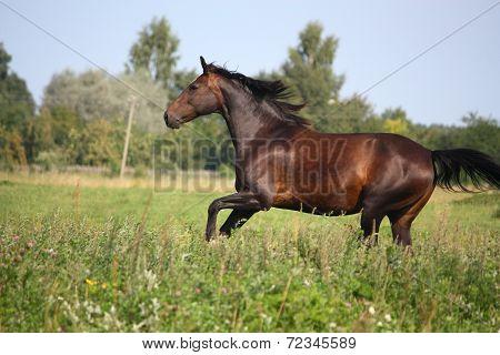 Beautiful Bay Horse Galloping At The Pasture
