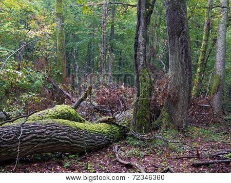 Old Oak Tree Broken