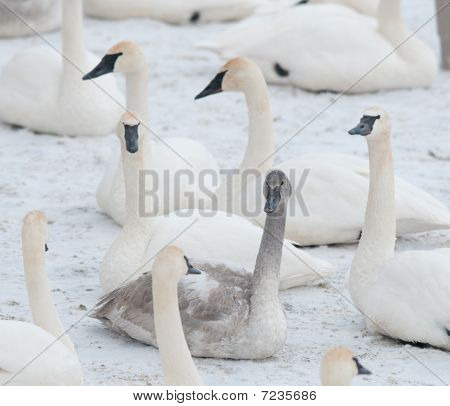 One Of These Is Different From The Others - Trumpeter Swans (Cygnus buccinator)