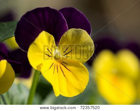 Macro Of Winter Viola