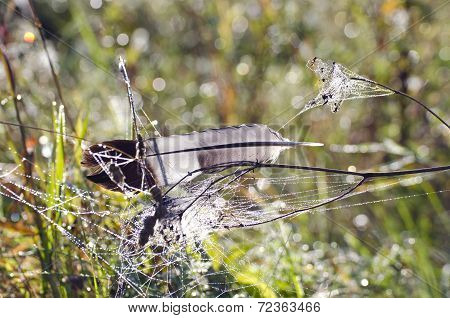 Bird Feather On Dewy Spider-web In Autumn