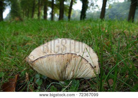 Mushroom Gills