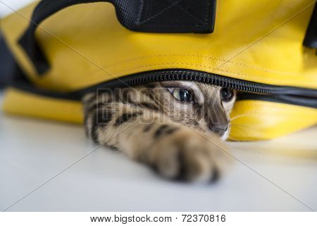 Cat Hiding In Bag