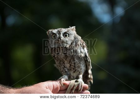 Owl in daylight