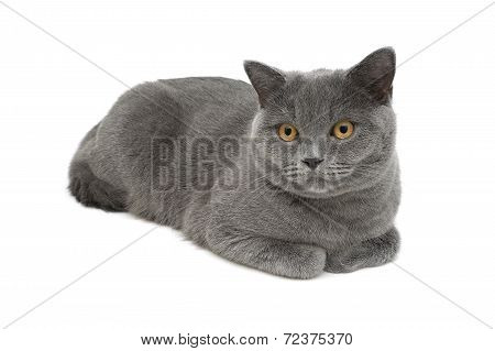 Gray Cat (breed Scottish Straight) Close-up On White Background