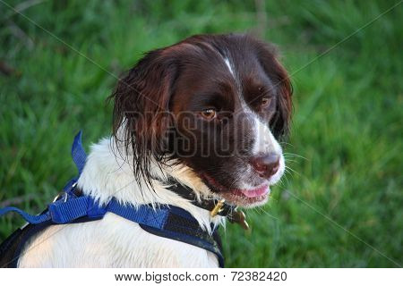 A Very Cute Liver And White Working Type English Springer Spaniel Pet Gundog