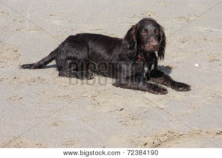A Brown Working Type Cocker Spaniel Puppy Lying On A Sandy Beach