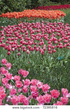 Colorful tulips photo.