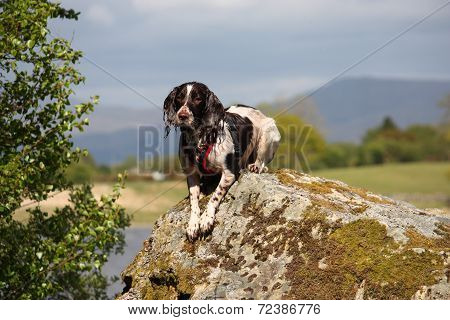 A Very Cute Liver And White Working Type English Springer Spaniel Pet Gundog Posing On A Rock