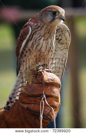 A Beautiful Kestrel Being Held