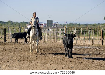 Girl Gardian Working A Herd Of Bulls