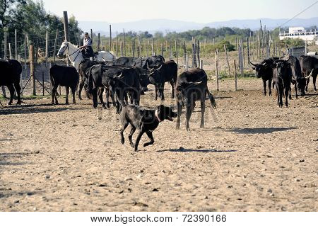 Girls Gardians And A Dog Working A Herd Of Bulls