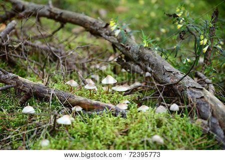 Toadstool mushrooms in the forest