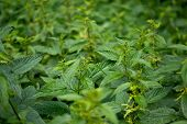 stock photo of sting  - A lot of stinging nettles on meadow - JPG