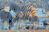 stock photo of mare foal  - Zebras drinking water at sunset - JPG