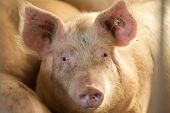 stock photo of pig head  - Close up of domestic pig looking at camera in stable - JPG