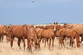 foto of steppes  - Herd of Russian Don horses in th steppe - JPG