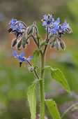 stock photo of borage  - Borage - Borago officinalis