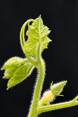 stock photo of pubescent  - Backlight pumpkin vine with immature female flower on black background - JPG