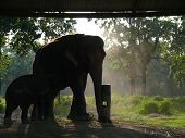 Постер, плакат: Asian Elephant And Babe In Captivity
