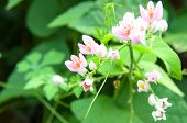 picture of confederation  - Pink Confederate vine blooming in the garden - JPG
