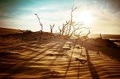 pic of dead plant  - Desert landscape with dead plants in sand dunes under sunny sky - JPG
