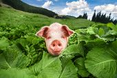 picture of husbandry  - Cute pig grazing at summer meadow at mountains pasturage under blue sky - JPG