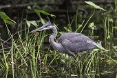 stock photo of bluegill  - A Great Blue Heron looks for something to eat - JPG