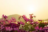 pic of cosmos flowers  - cosmos flowers in sunset  in Flower waterfront - JPG