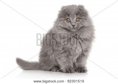 Scottish Highland Fold Kitten. Portrait On White Background