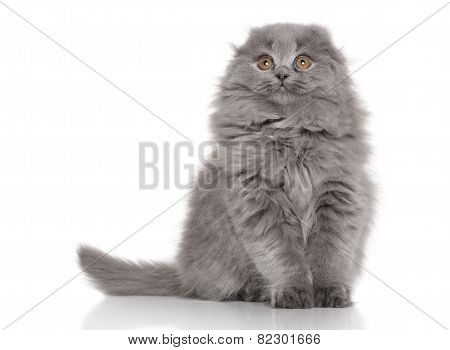 Highland Fold Scottish Kitten On White Background