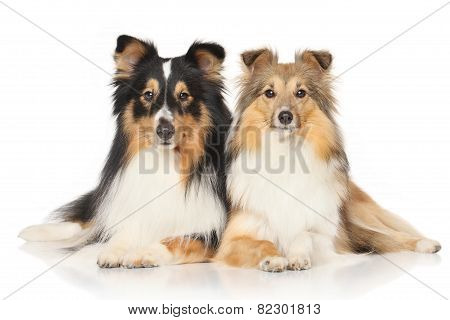 Shetland Sheepdogs On White Background