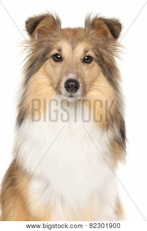 Portrait Of Shetland Sheepdogs