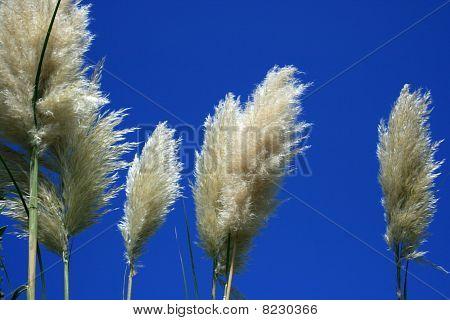 Pampas Grass And A Very Blue Sky